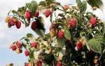 Правила и секреты выращивания малины по методу Соболева + видео