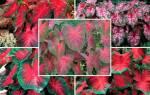 Каладиум — посадка и уход в домашних условиях, фото цветка, видео