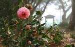 Камелия — уход и выращивание в саду, посадка вьющейся камелии садовой, фото, видео