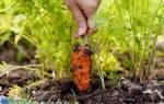 Как правильно сеять морковь, чтобы она быстро взошла + видео