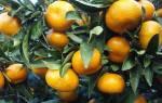 Мандарин — ускорение плодоношения, правила ухода