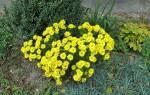 Многолетние цветы — мелкоцветковые и крупноцветковые хризантемы, правила выращивания, видео