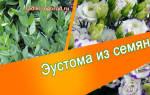 Эустома комнатная — выращивание и уход, посев семян, видео