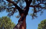 Пробковое дерево — где растет, свойства, где используется, видео