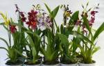 Орхидея Камбрия — уход в домашних условиях, выбор грунта, пересадка, фото, видео