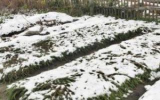 Как открывать чеснок после зимы и чем лучше укрывать, видео