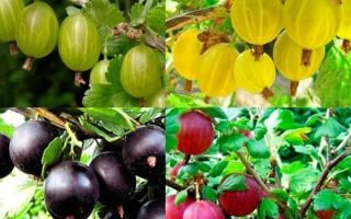 Крыжовник — обзор лучших сортов для выращивания на даче, видео