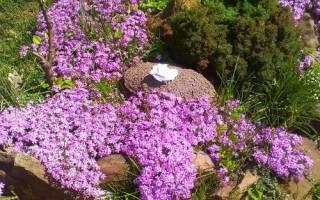 Гипсофила ползучая розовая, описание и выращивание растения