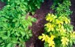 У картофеля желтеют нижние листья — причины заражения, лечение, видео