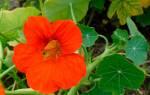 Настурция — выращивание в открытом грунте, подготовка рассады