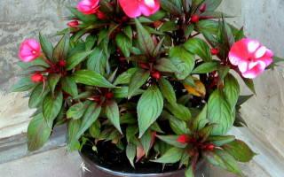 Цветок Ванька мокрый — уход в домашних условиях, другое название, размножение, фото, видео