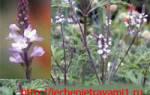 Лекарственные растения — одуванчик, алтей, иссоп, донник, вербена