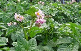 Обрывать ли цветки у картофеля + видео