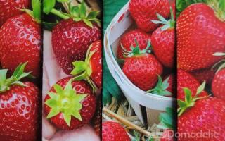 Земляника Любаша ремонтантная крупноплодная — описание сорта, выращивание из семян, видео