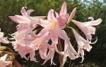 Амариллис — листья, луковицы, цветение, семена, родина растения, фото, видео
