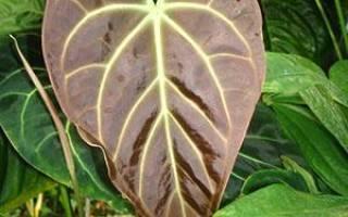 Антуриум — сохнут цветы, растение не цветет, что делать, время цветения, видео