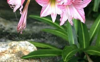 Цветок гиппеаструм садовый с фото и описанием, как ухаживать, видео