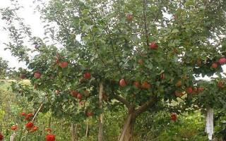 Фото и описание сортов яблони для Урала и Сибири + видео