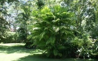 Пальма хамедорея в домашних условиях, рекомендации по уходу, видео
