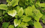 Почему желтеют листья у гортензии и как ей помочь, видео