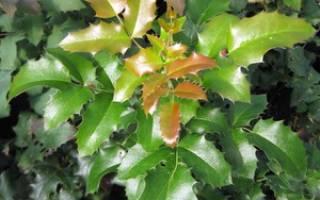 Магония падуболистная — посадка, уход и выращивание, размножение, видео