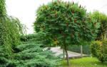 Дерево сумах — правила ухода, выращивание в саду, видео
