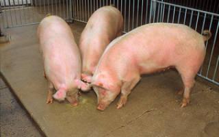 Кормление поросят от 1 до 6 месяцев — откорм на мясо в домашних условиях, витамины для роста, какую траву можно давать, видео