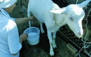 Увеличение надоев коз для прибыльного козоводства, правила кормления и ухода, видео