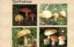 Трубчатые грибы — фото с описанием съедобных, несъедобных и ядовитых грибов, фото, видео