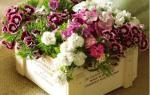 Гвоздика комнатная — уход в домашних условиях, выращивание, видео