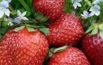 Описание клубники сорта Азия — плодоношение, размер ягод, видео