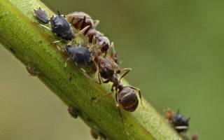 Как избавиться от муравьев в огурцах, народные средства, препараты