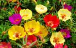 Выращивание цветочного портулака через рассаду, срок посева, видео