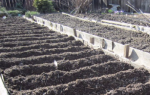 Выращивание лука по китайской технологии, посадка и уход, видео
