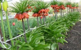 Цветы Рябчики — посадка и уход в открытом грунте Подмосковья
