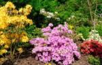 Азалия крупноцветковая листопадная — сорта, особенности выращивания, видео