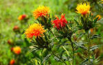 Технология выращивания сафлора — норма высева, медонос, видео
