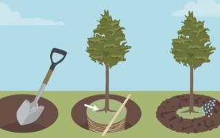 Как правильно посадить саженец дерева видео, посадка плодовых и ягодных деревьев