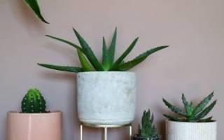 Алоэ — разновидности растения для выращивания в домашних условиях, видео