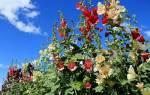 Выращивание мальвы — особенности посева и ухода, сбор, видео