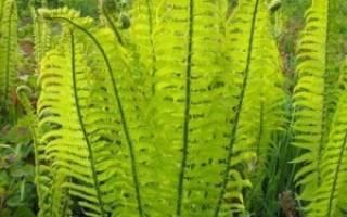 Папоротник страусник — растение для затененных участков, видео