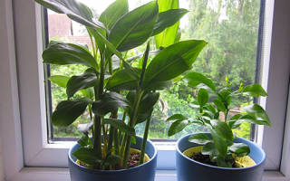 Выращивание кардамона в домашних условиях из семян, видео