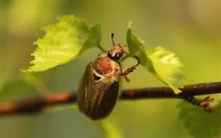 Насекомые-вредители сада — обзор майского жука, тли и олёнки мохнатой, видео