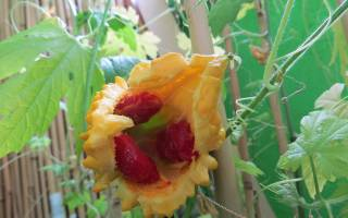 Выращивание момордики из семян в открытом грунте, уход, видео