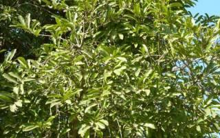 Эбеновое дерево — уникальные свойства, использование, фото, видео
