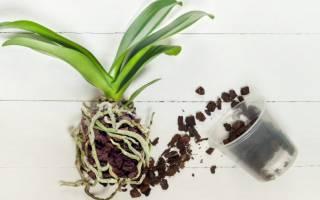 Когда пересаживать орхидею фаленопсис и как это делать, видео