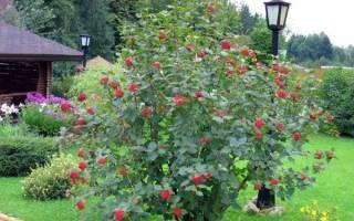 Выращивание калины — место посадки, способы размножения, видео