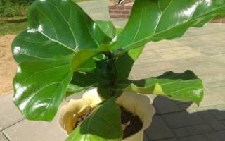 Фикус лировидный — растение для больших помещений, уход, видео