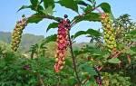 Что лечит трава лаконос, применение и рецепты, свойства, видео