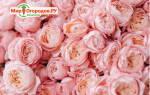 Пионовидные розы — фото, выращивание, уход